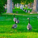 Local Wildlife - Canada Geese